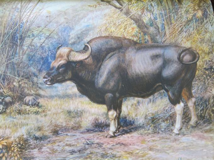 Hunting the Gaur