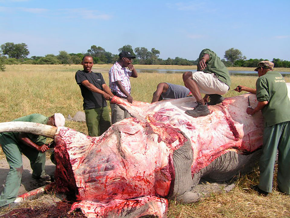 An elephant being butcherd by locals for food, in Botswana, where ashort-lived hunting ban failed to bring any benefits.
