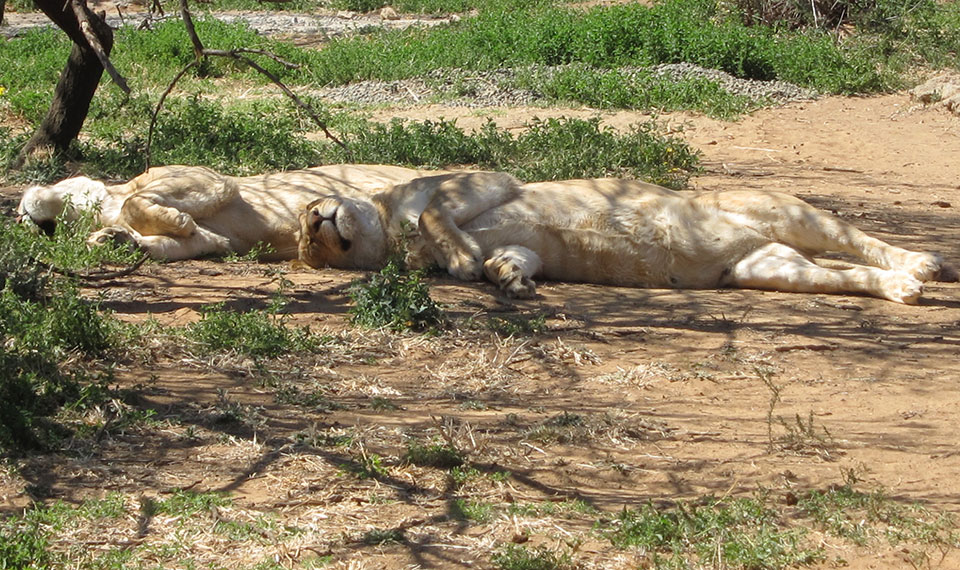 Captive bred lions on South African farm.