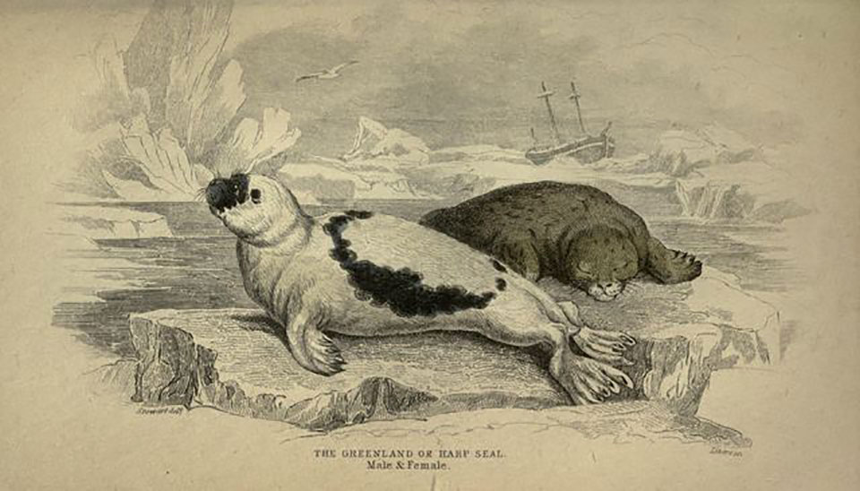 The Greenland seal was hunted for oil, rendered from its blubber.